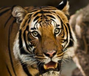 Metti un tigre nel motore della tua azienda